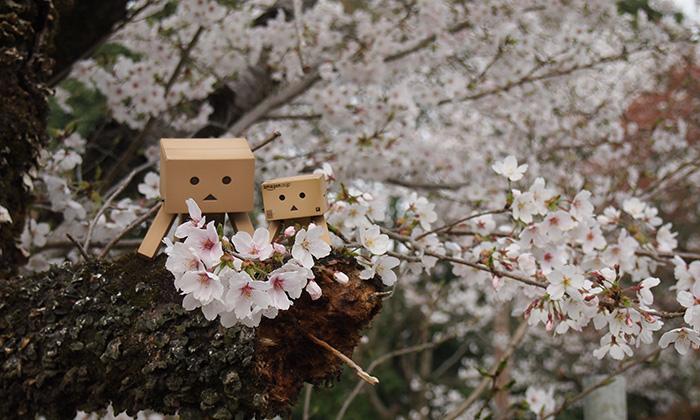 桃太郎神社・成田山・五条川と花見のはしご