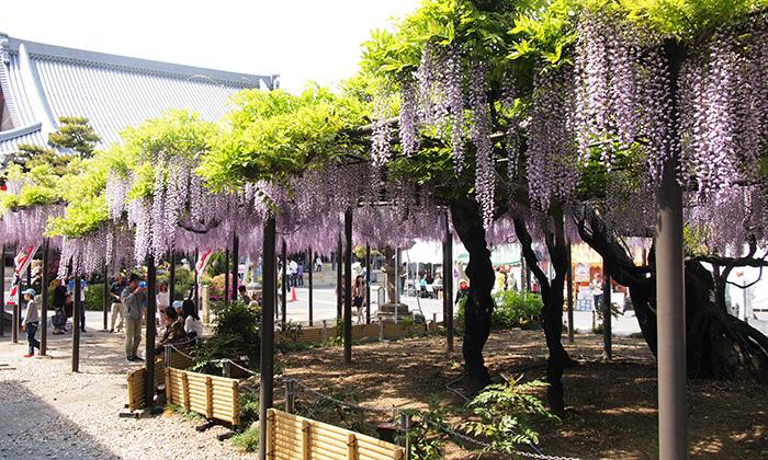 羽島でやってる美濃竹鼻ふじまつりに行ってきました